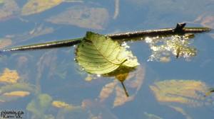 Scott Drotar Leaf