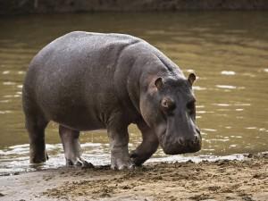 Scott Drotar Hippopotamus
